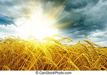 dorado, encima, trigo, campo puesta sol