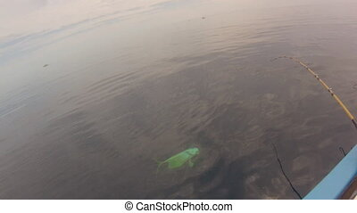 Dorado fishing in Mexico - Woman on a boat struggling...