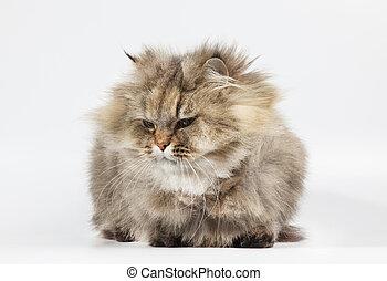 dorado, gato, persa, chinchilla, plano de fondo, blanco