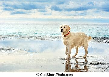 dorado, joven, estante, seafront, blanco, perro cobrador