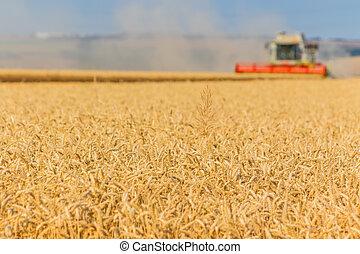 dorado, orejas, de, trigo