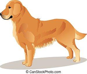 dorado, perro, perro cobrador