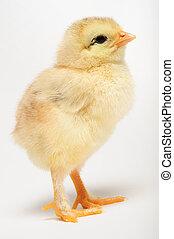 dorado, polluelo