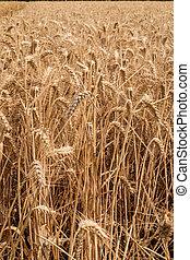 dorado, trigo, campo