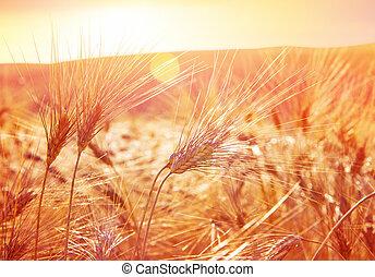 dorado, trigo, maduro, campo