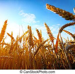 dorado, trigo, ocaso, campo