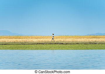 dorato, camminare, frumento, campo, attraverso, contadino