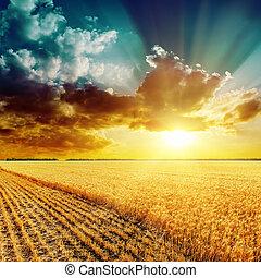 dorato, raccolta, campo, e, bello, tramonto, sopra, esso