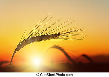 dorato, sopra, frumento, tramonto, campo