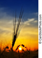 dorato, sopra, raccogliere, tramonto, campo
