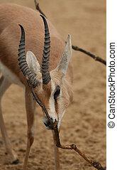 dorgas gazelle 9582
