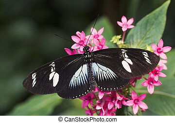 Doris Longwing Butterfly (Heliconius doris) Native to the ...