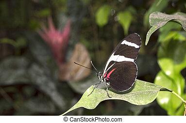 Doris Longwing butterfly Heliconius doris on green leaves