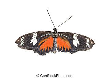 Doris Longwing Butterfly