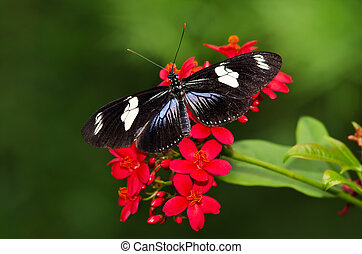 Doris Longwing butterfly (Heliconius Doris) on red flowers