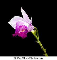 Doritis ground orchid (Phalaenopsis Esmeralda) on black background