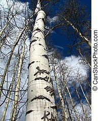 Looking up the trunk of a dormant aspen, with other aspens behind in Buena Vista, CO.