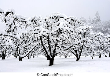 Apple orchard with leafless trees covered in a winter snowfall with tall pines on the hillside.