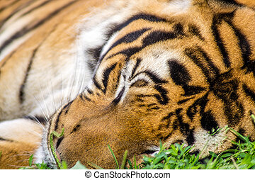 tigre dormir tigre photo zoo entier dormir images rechercher photographies et clipart. Black Bedroom Furniture Sets. Home Design Ideas