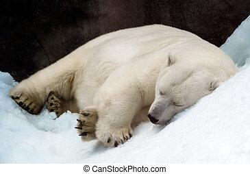 dormir, urso polar