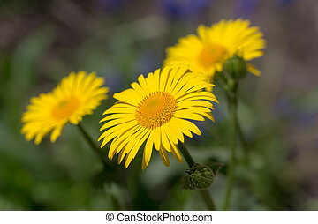 doronicum flowers in the spring