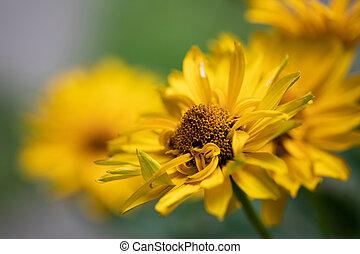 Doronicum grandiflorum flower