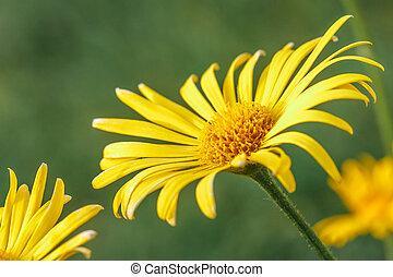Doronicum, leopard's-banes flower.