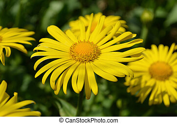 Doronicum yellow flower