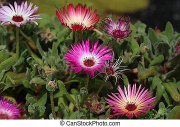 Dorotheanthus bellidiformis - livingstone daisy, colorful flower in garden