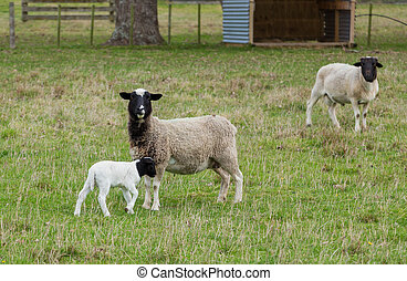 Dorper Sheep - Dorper mother & Father sheep with their young...