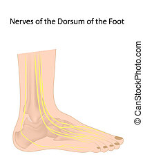 Dorsal digital nerves of foot eps10