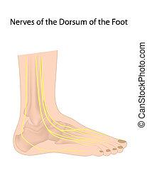 dorsal, digitale, nerver, i, fod, eps10