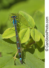 Dorsal View of Blue Damselfly - Dorsal view macro of a blue...