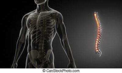 dos, anatomie, balayage médical