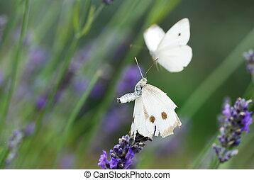 dos, blanco, butterflyes, en, lavanda, flores