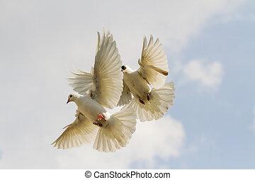 dos, blanco, palomas, revoloteo