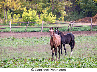 dos, caballos, en, granja, agricultura
