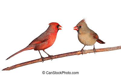 dos, cardenales, con, un, entero, alazor, semillas, en, su,...