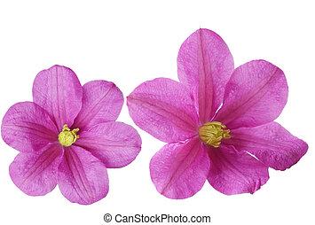 dos, clemátide, flores