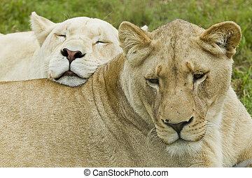 dos, elle, lionne, penchant, africaine, femail, blanc, lion...