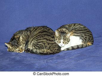 dos, gatos, sueño, en, un, sofá