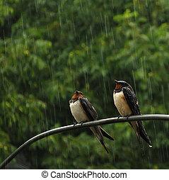 dos, golondrinas, en, lluvia