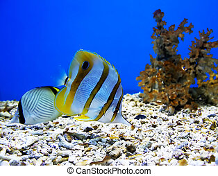 dos, hermoso, peces