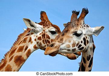 dos, jirafas