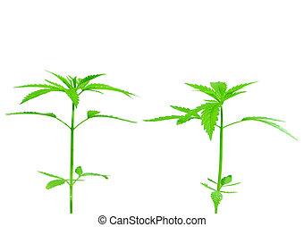 dos, joven, nuevo, crecer, cannibas, (marijuana), plantas,...