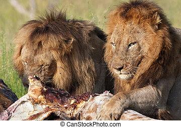 Panthera leo apareamiento leones salvaje panthera im genes buscar fotograf as y - Leones apareamiento ...