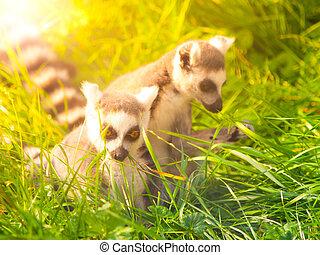 dos, lindo, lemurs, escondido, en, el, pasto o césped, madagascar