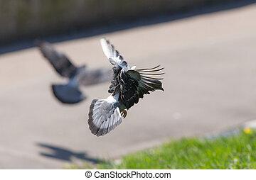 dos, palomas, en vuelo