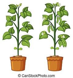 dos, plantas, frijoles, potted