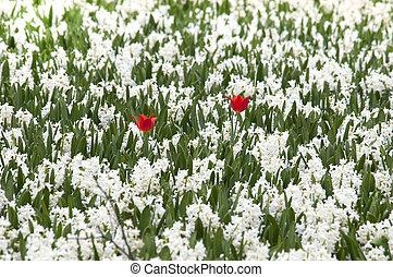 dos, rojo, tulipanes, en, blanco, campo, de, hyacints
